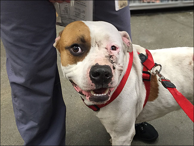 ACCESS-Specialty-Animal-Hospital-Bullet-Wound-Stitches